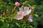 Small-flowered Sweet-briar (Rosa micrantha)